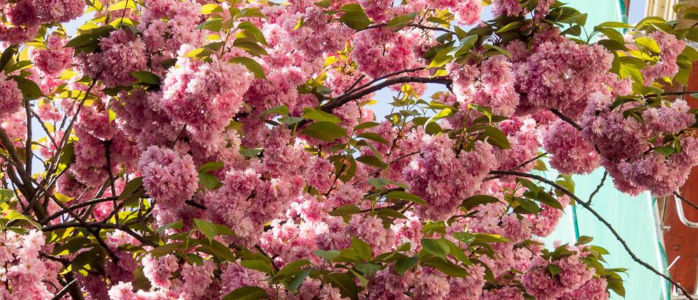 Kirschblüte in der Bonner Heerstraße